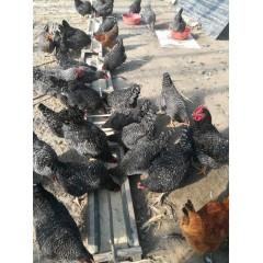 鸡蛋农家个人散养笨鸡蛋