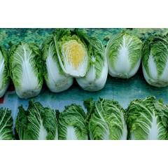 马家屯 可意农场 优质放心蔬菜 白菜