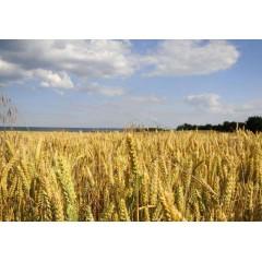 马家屯 可意农场 定制农业 小麦(斤)